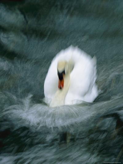 Time Exposure of a Swan Swimming-Michael Melford-Photographic Print