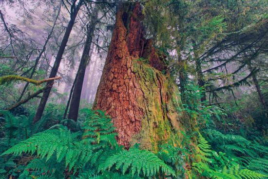 Time Tree, California Redwood Coast--Photographic Print