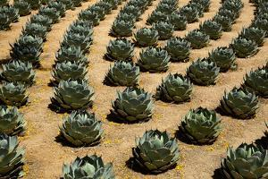 Rows of Artichoke Agave in a Formal Garden with Yellow Palo Verde Blossoms on the Ground by Timothy Hearsum