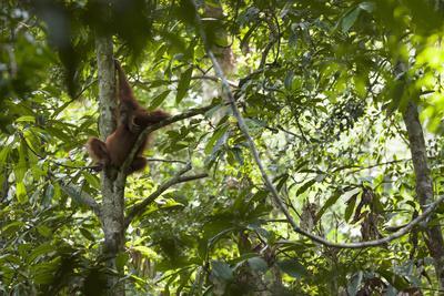 A Female Bornean Orangutan, Pongo Pygmaeus, Climbs Through The Trees