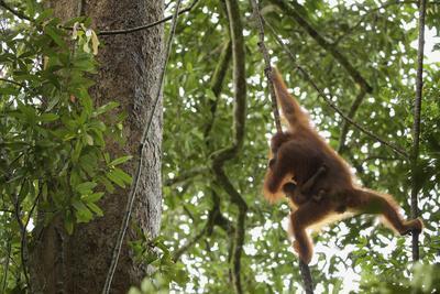 A Female Bornean Orangutan, Pongo Pygmaeus Wurmbii, With Infant, Climbs Through The Trees