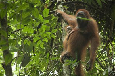 A Female Bornean Orangutan, Pongo Pygmaeus Wurmbii, With Infant, Eats A Leaf