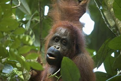 A Female Bornean Orangutan, Pongo Pygmaeus Wurmbii, With Infant