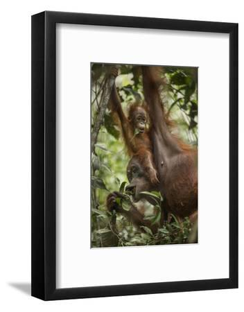 A Female Bornean Orangutan Teaches Her Offspring How to Find Ripe Fruit