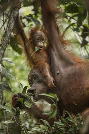 A Female Bornean Orangutan Teaches Her Offspring How to Find Ripe Fruit by Timothy Laman