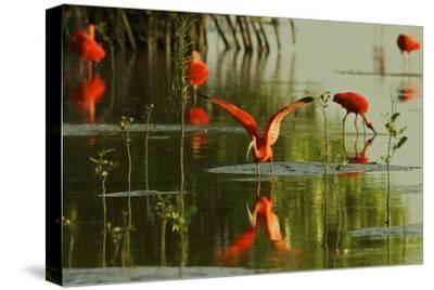 A Group of Scarlet Ibises Feed and Preen in the Water by Mangrove Trees