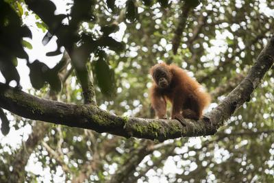 A Juvenile, Male Bornean Orangutan, Pongo Pygmaeus Wurmbii, Walks Along A Tree Branch