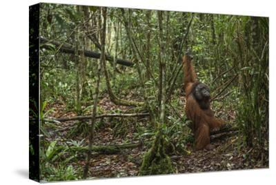 A Male Bornean Orangutan Moves Along the Floor of the Tuanan Swamp in Central Kalimantan