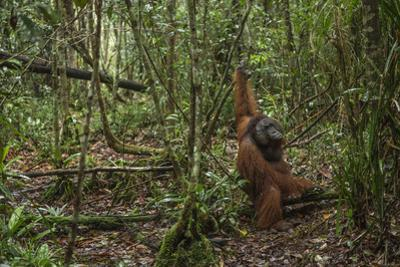 A Male Bornean Orangutan Moves Along the Floor of the Tuanan Swamp in Central Kalimantan by Timothy Laman