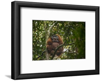 A Male Bornean Orangutan Uses a Leafy Branch as a Makeshift Umbrella