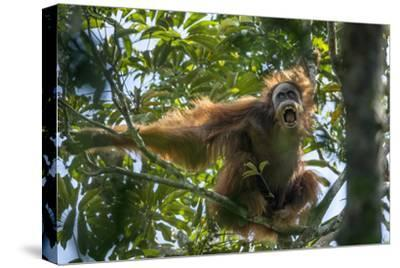 A Male Sumatran Orangutan Uses a Leafy Branch as a Makeshift Umbrella
