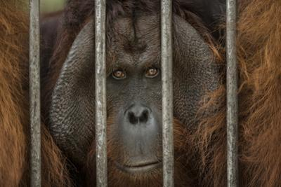 A Non-Releasable Male Orangutan at the International Animal Rescue Center by Timothy Laman
