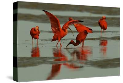 A Pair of Scarlet Ibises Foraging in the Mudflats of the Orinoco River Delta
