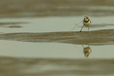 A Semipalmated Plover Forages at Low Tide in the Mudflats of the Orinoco River Delta by Timothy Laman