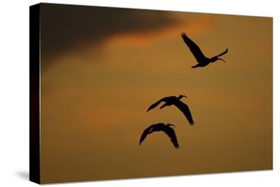 A Trio of Scarlet Ibises Fly Through the Orange Sky at Sunset over Orinoco River Delta