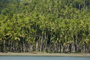 Coconut Plantation Along Coast Near Labilabi Village on Halmahera, Indonesia by Timothy Laman