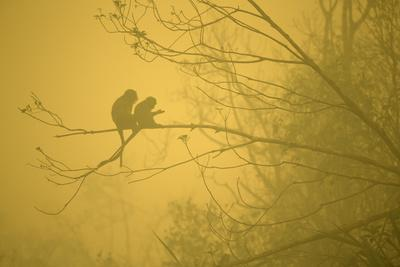 Long-Tailed Macaques In The Smoke From Forest Fires, Rest On A Tree Branch