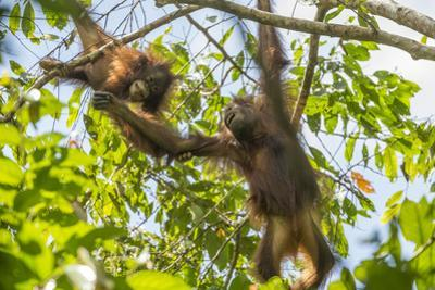 Young Orangutans Play in the Trees in Northeastern Borneo