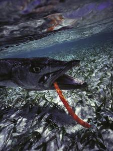 Barracuda, Tube Lure by Timothy O'Keefe