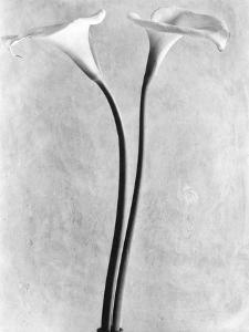 Calla Lilies, Mexico City, 1925 by Tina Modotti