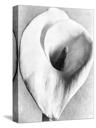 Calla Lily, Mexico City, 1925