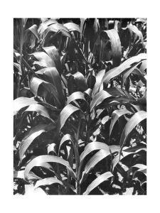 Corn Plants, Mexico, c.1929 by Tina Modotti