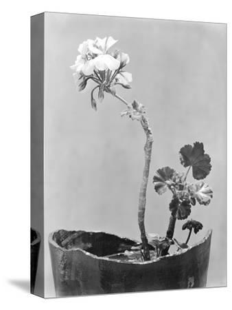 Geranium, Mexico City, c.1924