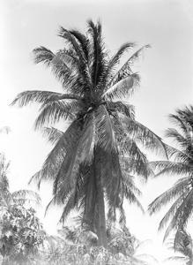 Palm Tree, 1925 by Tina Modotti