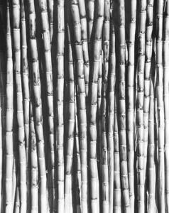 Sugar Cane, Mexico, 1929 by Tina Modotti