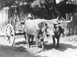 Team of Oxen, Mexico, C.1927 by Tina Modotti