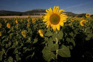 A Field of Sunflowers in Covarrubias by Tino Soriano