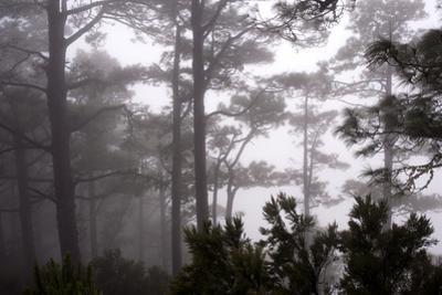 A Pine Tree Forest in Garafia by Tino Soriano