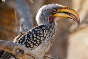 A Southern Yellow-Billed Hornbill, or a Tockus Leucomelas, at the Chobe National Park by Tino Soriano