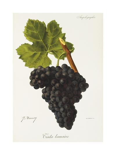 Tinta Lameira Grape-J. Troncy-Giclee Print