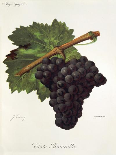 Tinto Amarella Grape-J. Troncy-Giclee Print