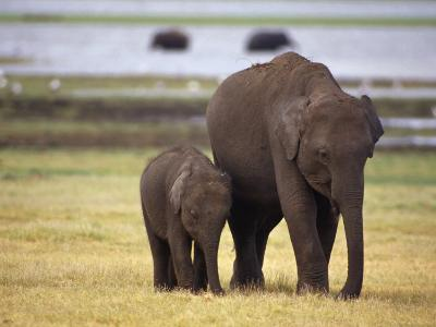 Tiny Asian Elephant Calf and it's Mother Graze on Dry Grasses-Jason Edwards-Photographic Print