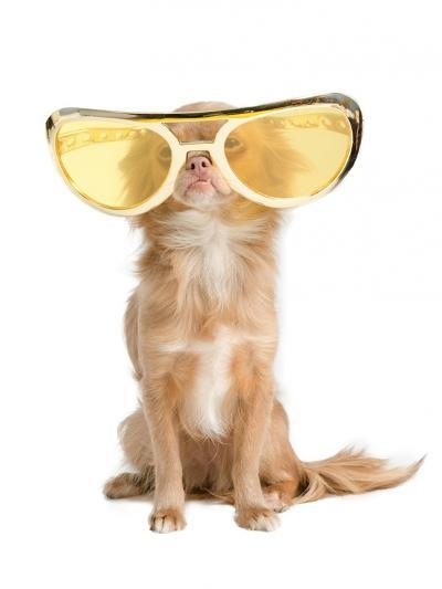 Tiny Chihuahua Dog With Funny Huge Glasses-vitalytitov-Photographic Print