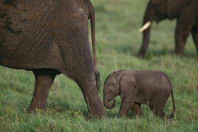 Tiny Elephant following Large Adult-DLILLC-Photographic Print