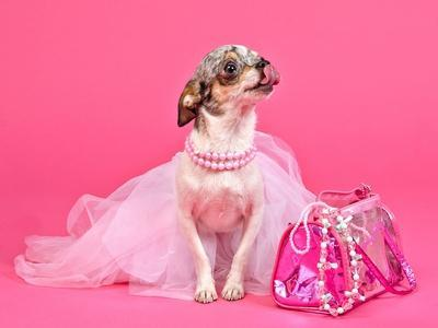 https://imgc.artprintimages.com/img/print/tiny-glamour-dog-with-pink-accessories-isolated_u-l-q10374o0.jpg?p=0