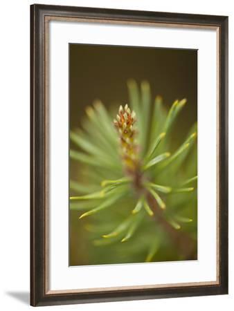 Tip of Branch of Scot's Pine Tree (Pinus Sylvestris) Beinn Eighe Nnr, Highlands, Nw Scotland, May-Mark Hamblin-Framed Photographic Print
