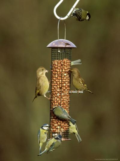 Tits and Other Garden Birds on Feeder, Winter-David Tipling-Photographic Print