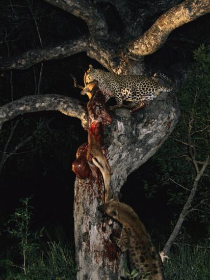Tjololo, a Five-Year-Old Leopard, and a Spotted Hyena Engage in a Tug-Of-War over an Impala-Kim Wolhuter-Photographic Print