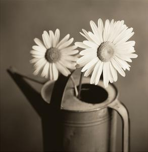 Daisies in Can by TM Photography