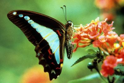 To Be a Butterfly 1988 Papillon--Photo