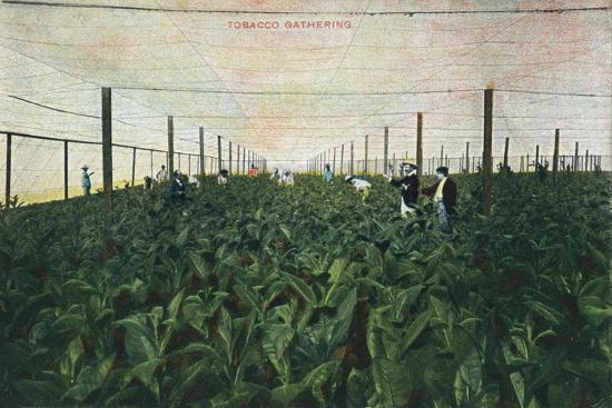 Tobacco Gathering, 1900-Unknown-Giclee Print