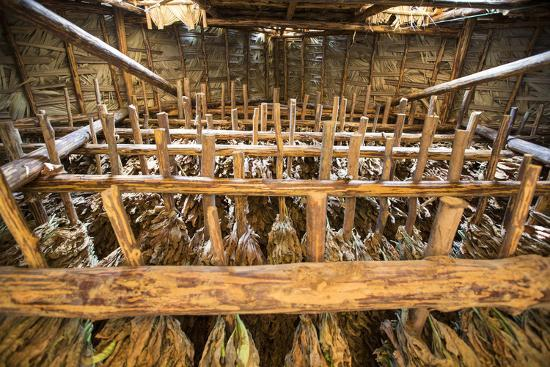 Tobacco Hanging in a Shed to Dry in the Best-Known Growing Region of Cuba, Pinar Del Rio-Michael Lewis-Photographic Print