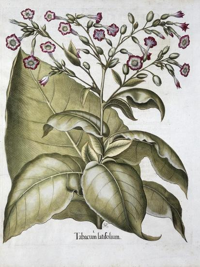 Tobacco plant, 1613-Unknown-Giclee Print