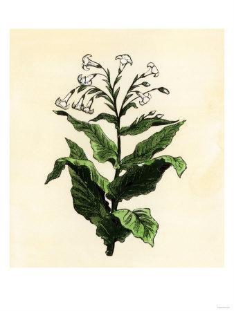 https://imgc.artprintimages.com/img/print/tobacco-plant_u-l-p26w220.jpg?p=0