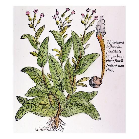 Tobacco Plant--Giclee Print