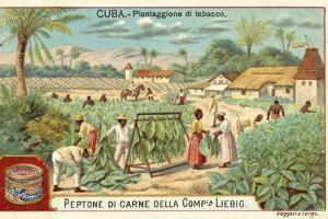 Tobacco Plantation, Cuba